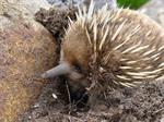 Echidna (Tachyglossus aculeatus setosus)